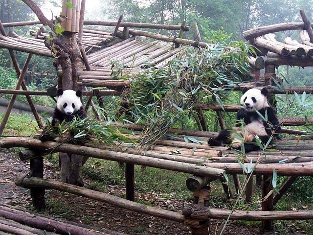 Young pandas on a wooden structure