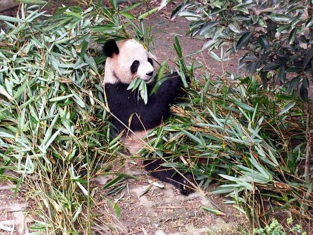 Panda at ease to eat