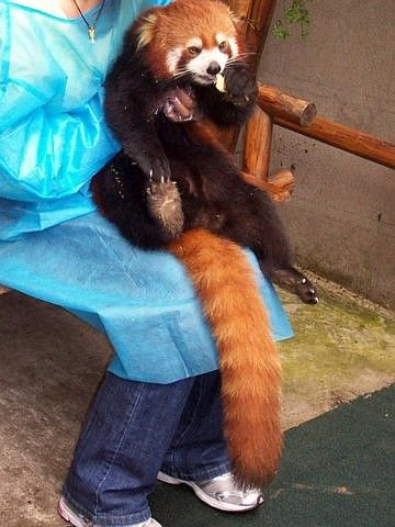 Red panda eating with one hand, relax
