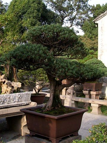 Humble administrator's garden - Bonsai looking like a small yew