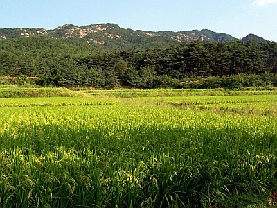 Paddy fields at the foot of Mount Namsan