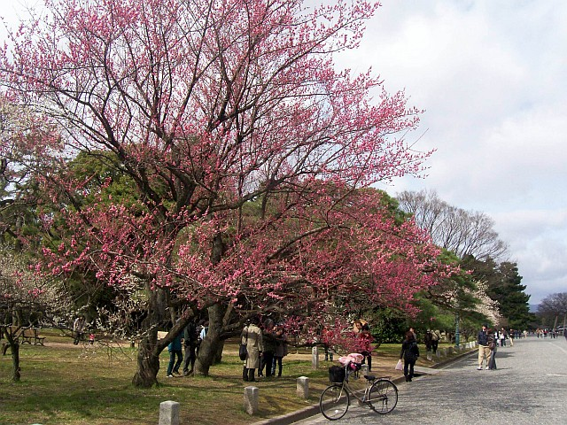 Imperial park - Sakura, Japanese cherry trees