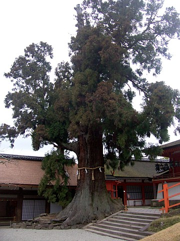 Kasuga Taisha shrine - Tree with shimenawa