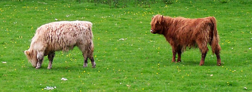 Scottish Cow