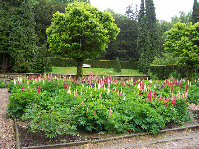Chatsworth house - Lupins in the garden