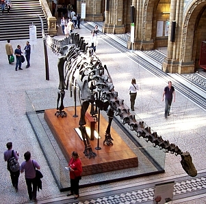 Natural history museum - Skeleton of Diplodocus