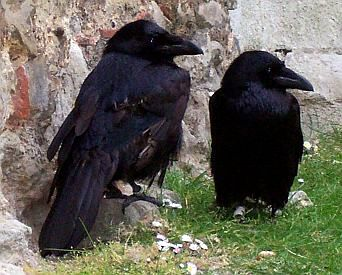 The famous ravens of the tower of London