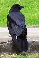 Tower of London - Raven