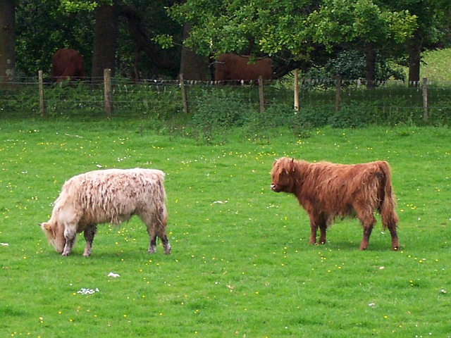 Trossachs - Scottish cows