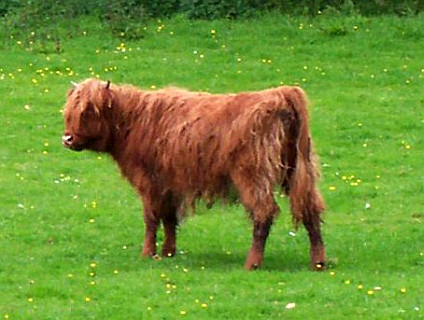 Trossachs - Scottish cow