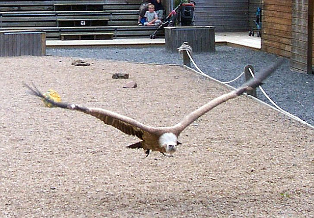 Courzieu park - Vulture (view 2)