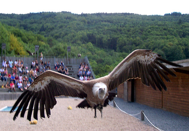 Courzieu park - Vulture (view 5)
