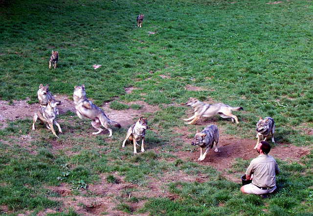 Courzieu park - Wolves feeding (view 3)