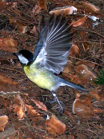 Tête d'or park - Blue tit taking flight
